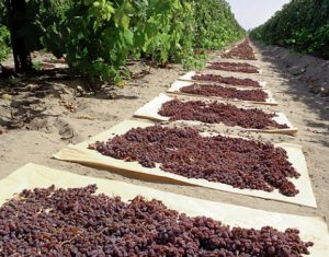Harvesting-Raisins